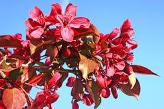 kwiecenia crabapple różowy Fotografia Royalty Free
