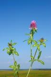 kwiecenie koniczynowa roślina Zdjęcia Royalty Free