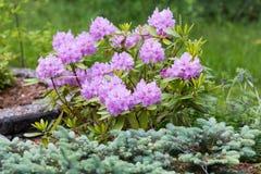 Kwiecenie różaneczniki & x28; także nazwany wysokogórski roses& x29; w ogródzie Fotografia Royalty Free
