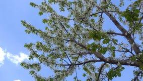 Kwiecień kwitnie śliwki na niebieskiego nieba tle 4K zbiory
