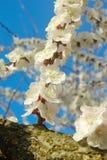 Kwiecień ogrodowa naturalna gałąź Wiosny biały okwitnięcie Zdjęcie Royalty Free