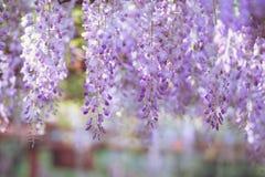 Kwiecień powabna purpurowa siklawa, żałość obrazy royalty free