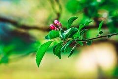 Kwiecie Czereśniowy drzewo z Purpurowymi kwiatami, wiosny natury lato, tło Fotografia Royalty Free