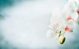 Kwiecista granica z Piękną białą orchideą kwitnie przy błękitnym tłem Natura, zdrój lub wellness, zdjęcie royalty free