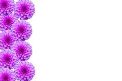 Kwiecista pocztówka z menchiami kwitnie dalii na bielu Zdjęcia Royalty Free