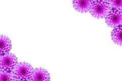 Kwiecista pocztówka z menchiami kwitnie dalii na bielu Obraz Stock