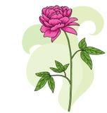 Kwiecista różowa peoni karta ilustracja wektor