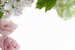 Kwiecista rama z białymi i jasnoróżowymi kwiatami odizolowywającymi na bielu Fotografia Royalty Free