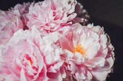 Kwiecista tapeta, tło od kwiatów płatków Trendów kolory menchie i błękit Piękno peonia, peonie, róża kwiaty Kwiat miłość conc Obrazy Royalty Free