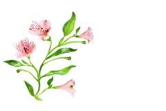 Kwiecista winieta opierająca się na istnych kwiatach. Odizolowywający nad bielem Fotografia Stock