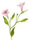 Kwiecista winieta opierająca się na istnych kwiatach. Odizolowywający nad bielem Obraz Royalty Free