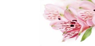 Kwiecista winieta opierająca się na istnych kwiatach. Odizolowywający nad bielem Obraz Stock
