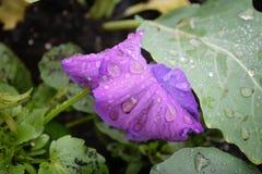 kwieciste purpurowy Fotografia Stock