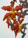 kwieciste tło orchidee Zdjęcie Stock