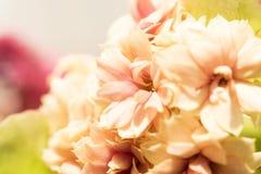 Kwiecistego tła Kalanchoe kwiatu makro- strzał, bokeh Zdjęcia Stock