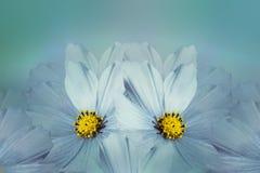Kwiecistego turkusu piękny tło tła składu powoju kwiatu tulipany biały Błękitny kwiatu kosmos Płatki kwiatu zakończenie Zdjęcie Royalty Free
