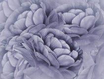 Kwiecisty światło - fiołkowy halftone tło Bukiet fiołkowi kwiaty Zakończenie kwiecisty kolaż tła składu powoju kwiatu tulipany bi Zdjęcia Royalty Free