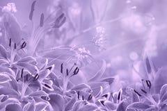 Kwiecisty światło - fiołkowy piękny tło Kwiatu skład purpury kwitnie leluje obrazy stock