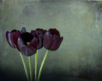 Kwiecisty życie wciąż, trzy czarnego tulipanu na zielonej teksturze Fotografia Stock