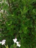 Kwiecisty arcydzieło Biali kolorów kwiaty z tamte pollens jak bokobrody są zadziwiający gdy byłem sprawnie chwytać one z klarowno fotografia royalty free