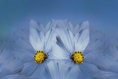 Kwiecisty błękitny piękny tło tła składu powoju kwiatu tulipany biały Błękitny kwiatu kosmos Płatki kwiatu zakończenie Obrazy Stock