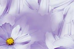 Kwiecisty biały piękny tło tła składu powoju kwiatu tulipany biały Fiołka kwiatu stokrotka Płatki kwiatu zakończenie Obrazy Royalty Free