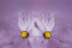 Kwiecisty fiołkowy piękny tło tła składu powoju kwiatu tulipany biały Purpura kwiatu kosmos Płatki kwiatu zakończenie Fotografia Royalty Free