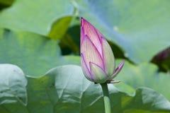 Kwiecisty pączek lotos Zdjęcia Royalty Free