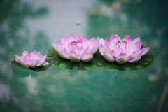 Kwiecisty Rabatowy kwiat Obrazy Royalty Free