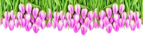Kwiecisty rabatowy tulipanów kwiatów sztandaru fiołek barwiący kwitnie Obrazy Stock