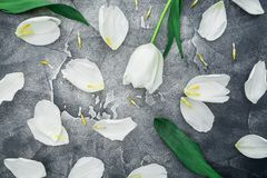 Kwiecisty skład robić biali tulipany na ciemnym tle Mieszkanie nieatutowy, odgórny widok Kwiecisty Deseniowy tło Obrazy Royalty Free