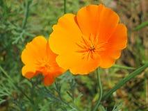 Kwiecisty tło lato Akcyjne fotografie - pomarańczowy Kalifornia maczek kwitnie - Obrazy Royalty Free