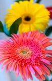 Kwiecisty tło z miękką ostrością różowi i żółci gerberas Zdjęcia Royalty Free