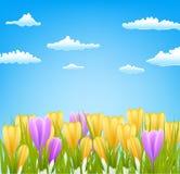 Kwiecisty tło z wiosną kwitnie krokusa nad niebem Obrazy Stock