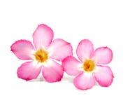 Kwiecisty tło. Zamyka up Tropikalny kwiat menchii Adenium obraz royalty free