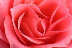 Kwiecisty tło, kwiat świeża menchii róża, zakończenie up, makro- Obraz Royalty Free