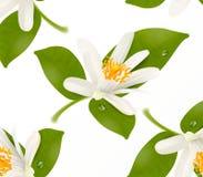 Kwiecisty wzór z realistycznego cytrusa kwitnącym tangerine, mandarynką lub pomarańczowym kwiatem, Wektorowa ilustracja na bielu zdjęcia stock