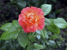 Kwiecistych pojedynczych pączkowych naturalnych ślubnych płatków flor rośliny ogródu zieleni płatka bukieta okwitnięcia kwiatu ró Zdjęcie Royalty Free