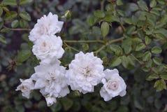 Kwiecistych pojedynczych pączkowych naturalnych ślubnych płatków flor rośliny ogródu zieleni płatka bukieta okwitnięcia kwiatu ró Obraz Stock