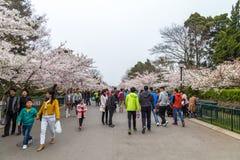 Kwietnia 2015 Czereśniowych okwitnięć festiwal w Zhongshan parku - Qingdao, Chiny - Zdjęcie Stock