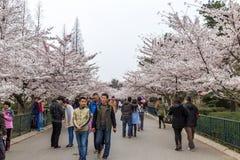 Kwietnia 2015 Czereśniowych okwitnięć festiwal w Zhongshan parku - Qingdao, Chiny - Fotografia Stock