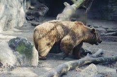 Kwietnia 2007 Innsbruck ciągnienia zimne niedźwiadkowi sen zoo wodach Zdjęcia Royalty Free