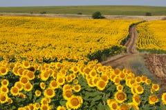 Kwitnąć pole słoneczniki zdjęcie royalty free