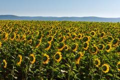 Kwitnąć pole słoneczniki obrazy stock