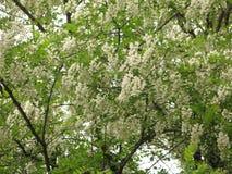 Kwitnąca biała akacja zdjęcia royalty free
