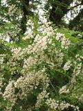 Kwitnąca biała akacja obraz royalty free