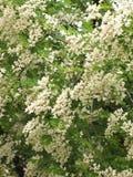 Kwitnąca biała akacja fotografia stock