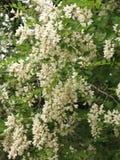 Kwitnąca biała akacja zdjęcie royalty free