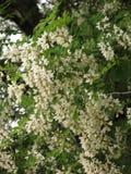 Kwitnąca biała akacja obrazy royalty free