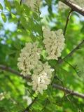 Kwitnąca biała akacja fotografia royalty free